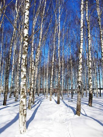 A birch trees grove by a sunny winter day