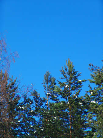 A background view of pines over a blue sky photo