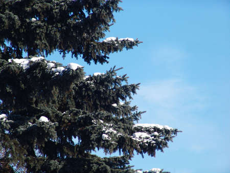 A spurce tree covered with snow over a blue sky Stock Photo - 2145464