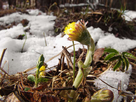 A coltsfoot flower growing from ground still covered with snow Stock Photo - 2145458