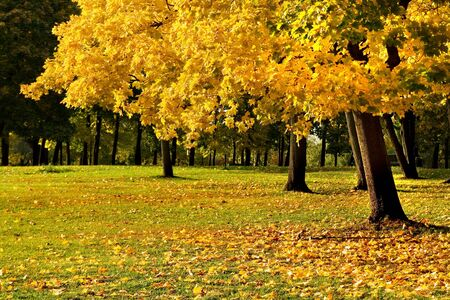 A maple tree with yellow autumn leaves, green grass and some copy space photo