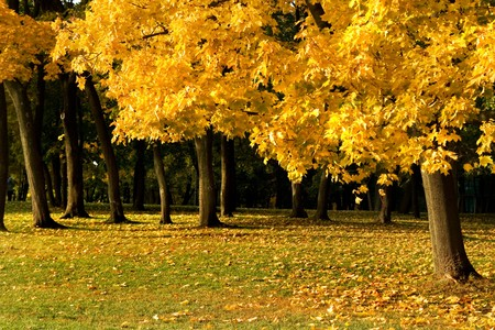 A maple tree with yellow autumn leaves, green grass and some copy space Stock Photo - 4223574