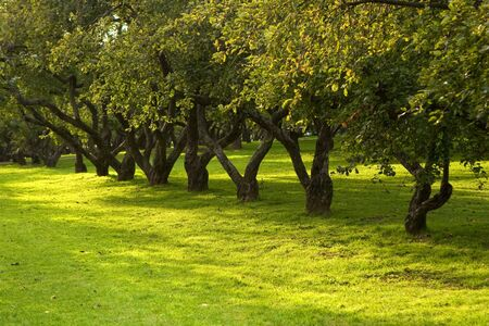 Rows of apple trees in a warm summer park with light green grass Imagens