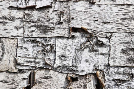A smooth piece of birch bark used as a traditional house lining Stock Photo - 81539546