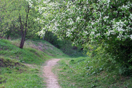 Bird-cherry tree in bloom and a curved rural path
