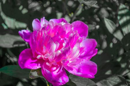 massif de fleurs: Fleur rose pivoine pas coup� dans le parterre de fleurs