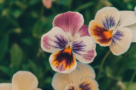sch�ne blumen: Sch�ne Blumen Stiefm�tterchen in gorshe auf der Stra�e, wurde verwendet Toning Bilder das erste Mal Nachbearbeitung Lizenzfreie Bilder