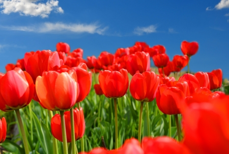 Field of red tulips with blue sky photo