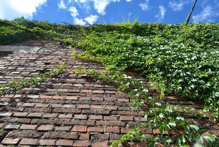Climbing green ivy on an old brick wall outdoors against blue sky photo