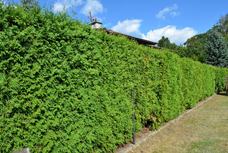 hedgerow: Long green hedge with a blue sky background