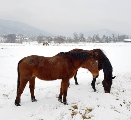Horses on the meadow in winter scenery on the background of mountains Banco de Imagens