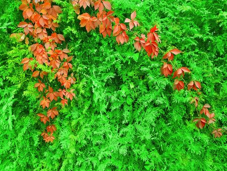 Hedge with red flowers. Banco de Imagens