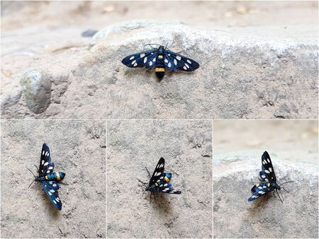 Yellow belted burnet (Amata phegea) Black butterfly with white dots on a stone background. Photo collage from four perspectives.