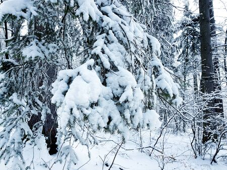 Branch covered with snow in the forest Banco de Imagens