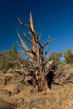 bristlecone: Photo of a dead bristlecone pine taken in the Oregon Badlands east of Bend.