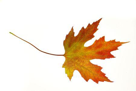 Photo of a bright orange maple leaf on a white background. Stock Photo