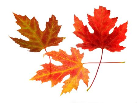 Photo of colorful maple leaves on a white background.
