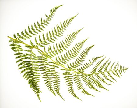 Photo of a fern frond on a white background.