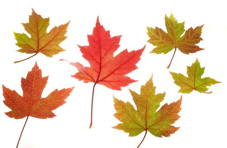 variously: Photo of variously colored maple leaves on a white background.