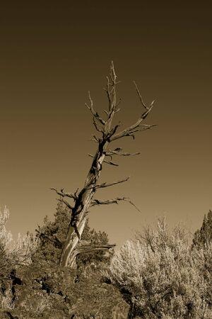 Bristllecone 소나무, 오 레 곤 황무지, 벤드, 오 레 곤, 미국 근처의 사진