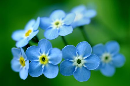 Photo of forget-me-nots on green background. photo