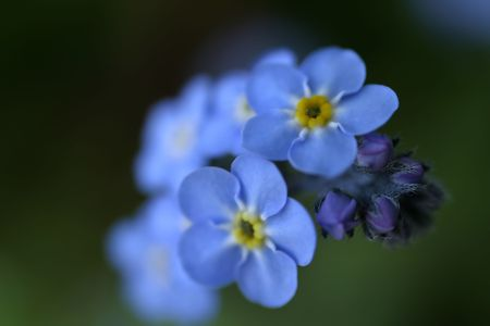 Photo of forget-me-nots on green background.