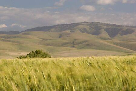 Photo of a wheat field, near Pendleton, Oregon photo