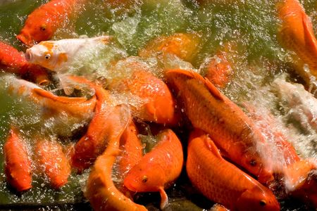 on the dole: Photo of a group of koi enjoying a feeding frenzy at the Dole Pineapple Plantaion on Oahu, Hawaii