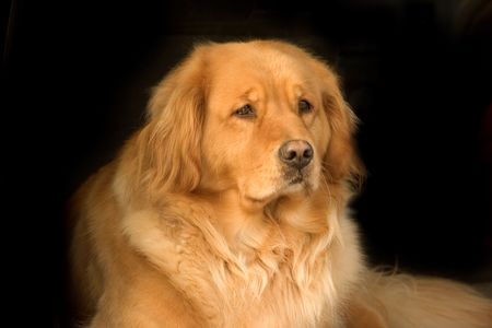 combed: Photo of a very beautiful golden retriever on a black background