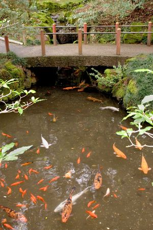 Photo of Koi at the Byodo-In Temple on Oahu, Hawaii