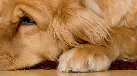 combed: Photo of a very beautiful golden retriever lying on a hardwood floor Stock Photo