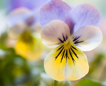 Photo of a beautiful yellow and blue pansy Stock Photo