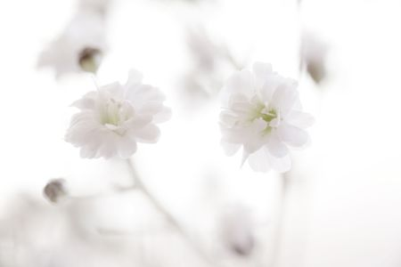 Photo of Babys Breath shot at very high magnification.