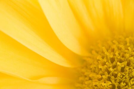 Photo of a yellow daisy bloom shot up very close