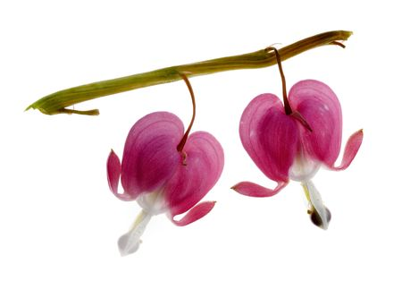 Two Fuchsia blossoms isolated on white background photo