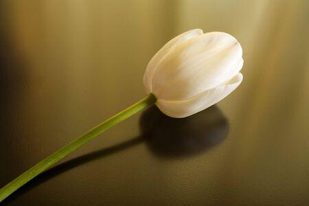 Photo of a white tulip bloom shot fairly close Stock Photo - 386072