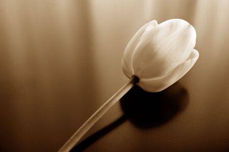 Photo of a toned tulip Stock Photo