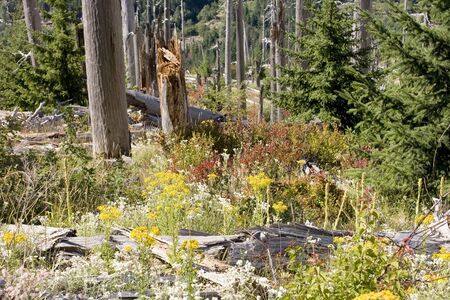 helens: Photo showing the re-birth of the forest around and area that was destroyed by the eruption of Mt. St. Helens. Stock Photo