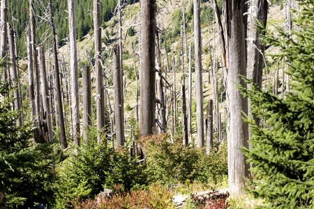 Photo of burned trees, near Mount St. Helens, in the Gifford Pinchot National Forest. Stock Photo - 530261