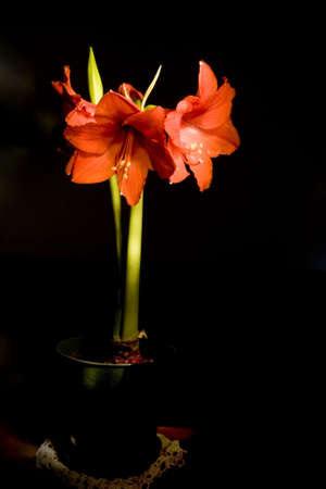 anthers: Beautiful red amaryllis bloom showing anthers, stamen, and pollen. Stock Photo