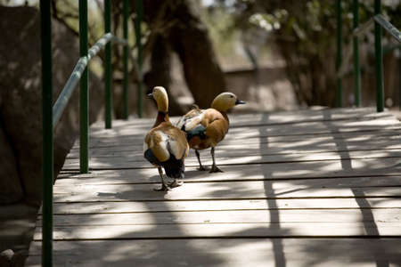 strolling: Two ducks strolling over a walking bridge. Stock Photo