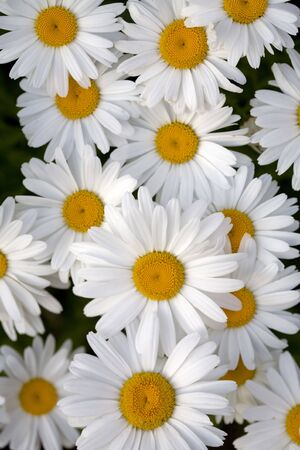 Two Shasta daisies on a green background. Stock Photo - 1311583