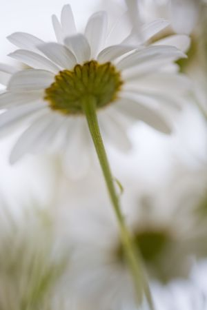 Underside view of some Shasta daisies shot up close. photo