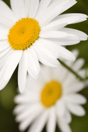 Two Shasta daisies on a green background. photo