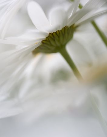 Shasta daisies shot through a bloom of another daisy for a dreamy effect.
