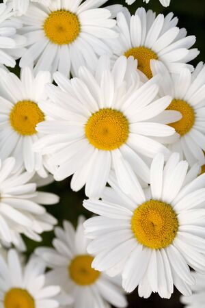 A beautiful grouping of Shasta daisies. photo