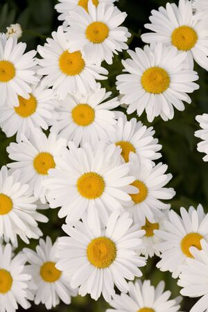 A beautiful grouping of Shasta daisies. Stock Photo - 1351340