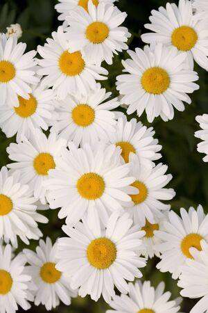 A beautiful grouping of Shasta daisies. Stock Photo - 1351340