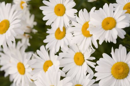 A beautiful grouping of Shasta daisies.