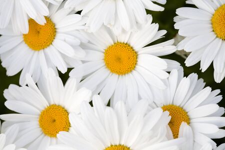 A beautiful grouping of Shasta daisies. Stock Photo - 1416669